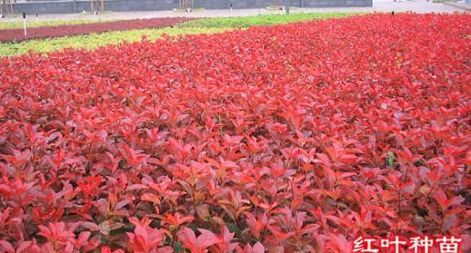 红叶石楠色块